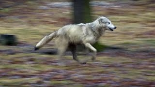 Download Wolf vs Dog Intelligence Test | Bang Goes The Theory | Brit Lab | BBC Video