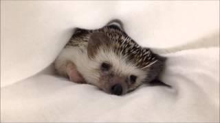 Download ハリネズミのえびす丸 027 ねむたい Sleepy Hedgehog Video