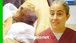 Download How To Care For A Baby Rodrigues Fruit Bat | The Zoo Video
