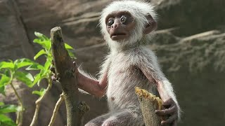 Download 'Spy Monkey' Mistaken For Dead Baby And Mourned By Troop - BBC Earth Video