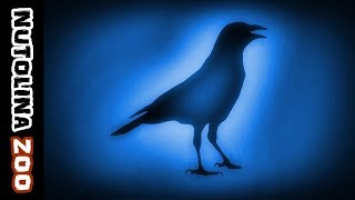 Download Crow call / Crow sounds / Crow sound / Crow sound effect Video