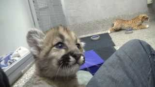 Download Rescued cougar orphans Video