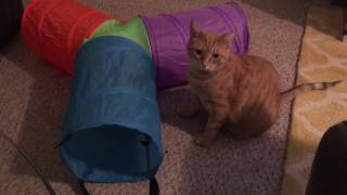 Download Max and Mya Get a Fun Tunnel! Siamese and Orange Tabby Cats :) Video