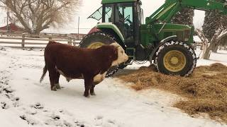 Download Hereford bull having fun with new winter bedding Video