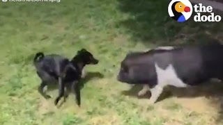 Download Pig Plays With Puppy Brother | The Dodo Video