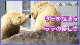 Download 退屈そうなリラにララの気遣いが優し過ぎる Polar Bear Mom is gentle Video