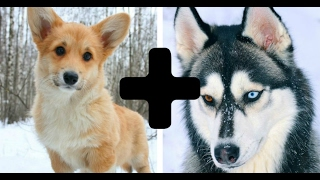 Download 10 Amazing Cross Dog Breeds - Mixed Dogs Video