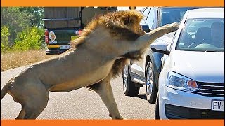Download Lion Shows Tourist Why Windows Should be Closed! Video