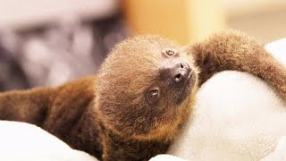 Download Tiny Newborn Sloth Gets Hand-Reared After Siblings Die On Mom's Watch Video