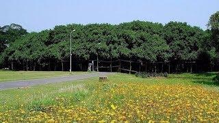 Download दुनिया का सबसे अनोखा पेड़, दिखने में लगता है एक पूरा जंगल Video