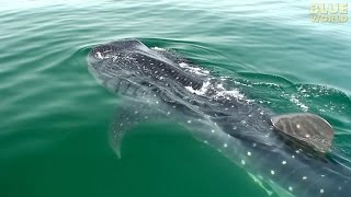Download Whale Sharks of Holbox | JONATHAN BIRD'S BLUE WORLD Video