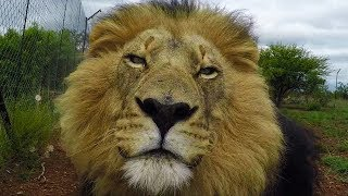 Download Walking With Lions | The Lion Whisperer Video