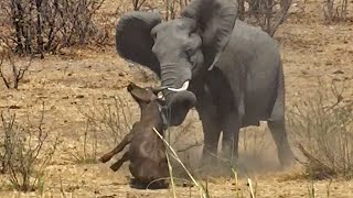 Download Elephant Stabs and Kills Buffalo Video