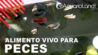 Download Alimento vivo para peces || ACUARIOLAND Video
