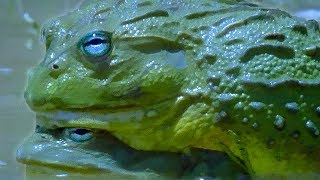 Download Explosive Sex of the African Bullfrog - Battle of the Sexes in the Animal World - BBC Earth - BBC Video