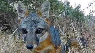 Download The Adorable Island Fox, Santa Rosa Island, Channel Islands National Park Video