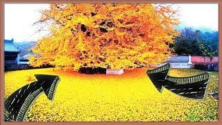 Download Conoce al llamado árbol de oro de 1400 años Video