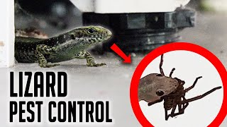 Download Can Lizards Eat My Spider Problem? Video