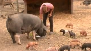 Download Pigs Almost 1 Week Old Video