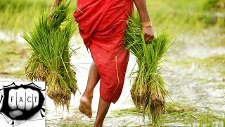 Download Top 10 Rice Producing Countries In The World Video