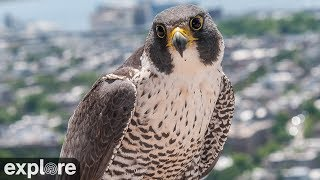 Download Chesapeake Conservancy Peregrine Falcon Cam powered by EXPLORE.org Video
