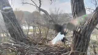 Download Decorah Eagles Dad Crashes Into Tree Trunk,Trying 2 Catch Squirrel & Slow-Motion 11 Video