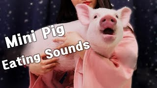 Download 미니피그 핑돼 리얼사운드 먹방 ASMR 4탄(mini pig's eating sounds)[재미로보는 ASMR]꿀꿀선아,먹방,eating shows,pet,real sounds Video
