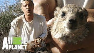 Download Damán de las rocas tiene ″almohadillas″ en sus patas | Wild Frank en África | Animal Planet Video