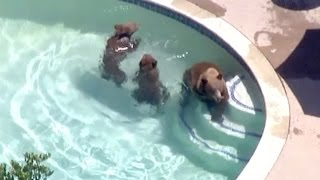 Download Dog Scares off Bear Family Having a Swim Video
