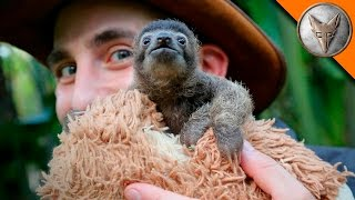 Download Cutest Baby Sloth EVER! Video