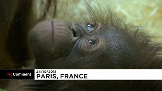 Download Paris zoo welcomes first baby orangutan in years Video