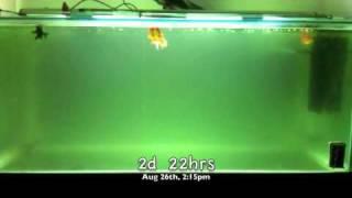Download Aquarium UV Sterilizer/Filter in Action! Video