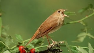 Download Nachtegaal / Common Nightingale singing Video