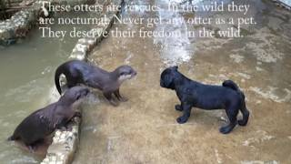 Download Pug puppy meets otters Video