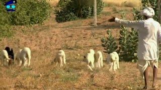 Download Village of Jaisalmer Desert || Rangilo Rajasthan || FULL HD VIDEO || MYCHOICE Video