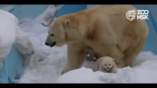 Download Белые медвежата в Новосибирском зоопарке имени Р.А.Шило Video