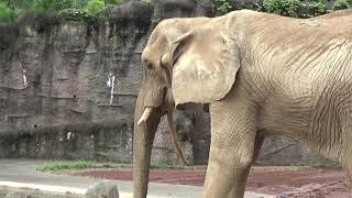 Download 動物園チャンネル アフリカゾウ 多摩動物公園 ZOOchannnel African elephant Tama Zoological Park Video