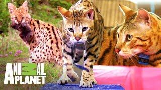Download ¡Gato híbrido tiene mucha energía! | Mi gato endemoniado | Animal Planet Video