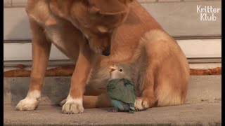 Download Dog And Bird's Painful Love Story (For The Bird) | Kritter Klub Video