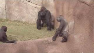 Download Gorillas at the LA ZOO watch the whole video Video