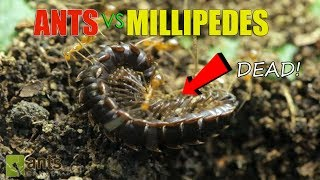 Download ANTS vs GIANT MILLIPEDES Video