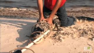 Download Wrestling a Zombie Gator | Gator Boys Video