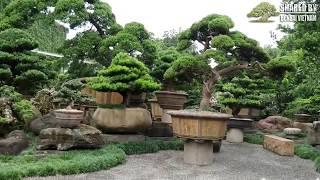 Download Thăm vườn Tùng Bonsai đẹp nhất xứ Đài Video