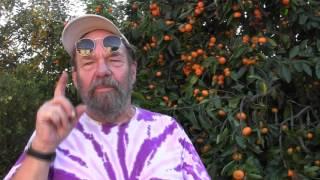 Download Satsuma Mandarins Video