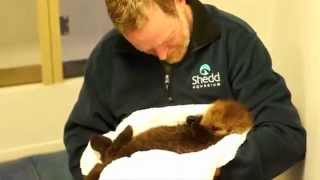 Download This Cute Baby Otter Pup Will be the Cutest Thing You See All Day! Video