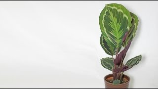 Download Calathea roseopicta - Korbmarante, Prayer Plant Video