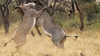Download Best of African Animals | Top 5 | BBC Earth Video