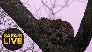 Download safariLIVE - Sunrise Safari - August 17, 2018 Video