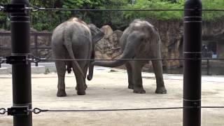 Download 上野動物園 ゾウ Video