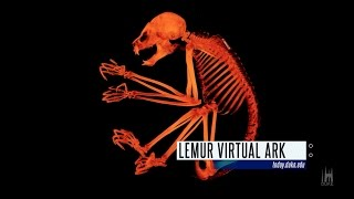 Download 3-D X-ray Lemurs; Springtime at Duke: The Week at Duke in 60 Seconds Video